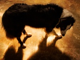A Collie Dog Standing in the Evening Sunlight Photographic Print by Susan Bein