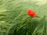 Poppy Photographic Print by Bernard Jaubert