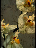 Orchid Photographic Print by Cristina Carra Caso