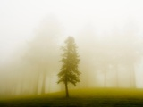 A Lone Tree Separated from Other Trees by a Curtain of Mist Photographic Print by Susan Bein