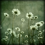 Daisies Photographic Print by Peter Polter