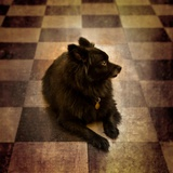 A Small Black Dog Lying on the Floor Photographic Print by Susan Bein