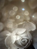 Language of a Rose Photographic Print by Alaya Gadeh