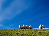 Curious Sheep Photographic Print by Peter Polter