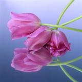 Tulip Reflection Photographic Print by Bernard Jaubert
