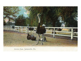 Jacksonville, Florida - Ostrich Farm Scene Posters by  Lantern Press