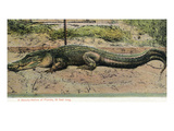 Florida - View of 19 Foot Long Alligator Póster por Lantern Press