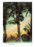 Lantern Press - Florida - View of Coconuts in Tree Obrazy