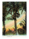 Florida - View of Coconuts in Tree Prints by  Lantern Press