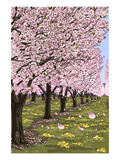 Cherry Orchard Blossoms Prints by  Lantern Press