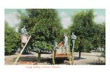California - Orange Picking in Southern California Print by  Lantern Press