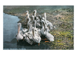 Florida - View of Baby Pelicans Lámina por Lantern Press