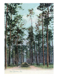 Florida - View of Pine Barrens Prints by  Lantern Press