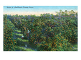 California - View of a Orange Grove Prints by  Lantern Press