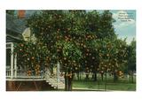Tampa, Florida - Orange Trees in Front of House Kunstdrucke von  Lantern Press