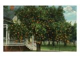 Tampa, Florida - Orange Trees in Front of House Prints by  Lantern Press