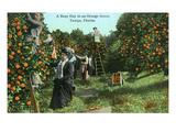Tampa, Florida - Picking Oranges Scene Prints by  Lantern Press