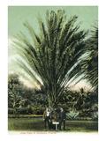 Florida - Men Standing by Huge Date Palm Poster von  Lantern Press