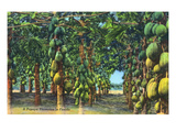 Florida - View of a Papaya Plantation Láminas por Lantern Press