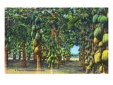 Florida - View of a Papaya Plantation Prints by  Lantern Press