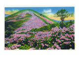 North Carolina - View of Purple Rhododendron in Bloom Near Blue Ridge Parkway Exklusivt gicléetryck av  Lantern Press