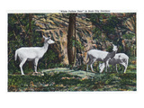 Lookout Mountain, Tennessee - Rock City Gardens, View of White Fallow Deer Print by  Lantern Press