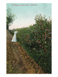 California - View of Sweet Pea Hedges Prints by Lantern Press