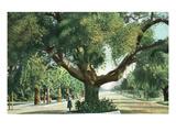 Pasadena, California - A Live Oak Tree on Orange Grove Avenue Reprodukcje autor Lantern Press