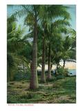 Florida - View of Royal Palms Kunstdruck von  Lantern Press