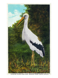 Santa Catalina Island, California - Bird Park, View of a Maguiri Stork Poster by  Lantern Press