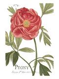 Peonía rosa Lámina por Hugo Wild