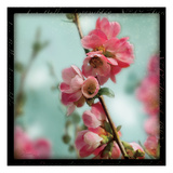 Quince Blossoms III Premium Giclee Print by Sue Schlabach