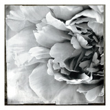 Dreamy Peony II Posters by Wild Apple Photography
