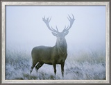 Red Deer (Cervus Elaphus) Stag at Dawn During Rut in September, UK, Europe Gerahmter Fotografie-Druck von David Tipling