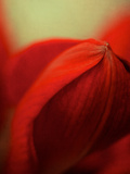 Study of an Amaryllis V Photographic Print by Mia Friedrich