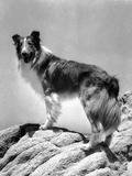 Lassie Come Home, Lassie, 1943 Plakat