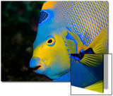 Queen Angelfish (Holacanthus Ciliaris) Prints by Stephen Frink