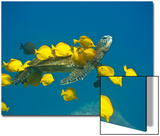 Green sea turtle with passengers Prints by Tim Davis