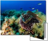 Sea Urchin (Sphaerechinus Granularis), Mediterranean Sea, San Pietro Island, Sardinia Prints by Solvin Zankl