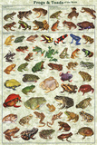 Frogs & Toads of the World Educational Poster Plakater