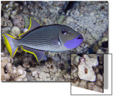 The Male Gilded Triggerfish (Xanthichthys Auromarginatus) Prints by David Fleetham