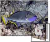The Male Gilded Triggerfish (Xanthichthys Auromarginatus) Prints by David Fleetham