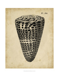 Vintage Diderot Shell I Prints by  Vision Studio