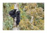 Black Bear Cubs In Tree Giclee Print by Donald Paulson