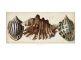 Shell Trio II Prints by  Vision Studio