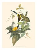 Small Bird of the Tropics IV Reproduction giclée Premium par John Gould