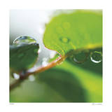 Dew Drops 1 Giclee Print by Florence Delva