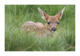 Spotted Fawn Limited Edition by Donald Paulson