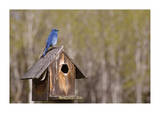 Mountain Bluebird Giclee Print by Donald Paulson