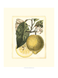 French Lemon Study I Print by A. Risso